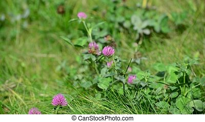 Blooming clover on  lush summer meadow