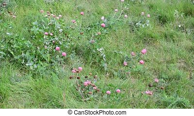 Blooming clover on lush summer meadow - Blooming clover on a...
