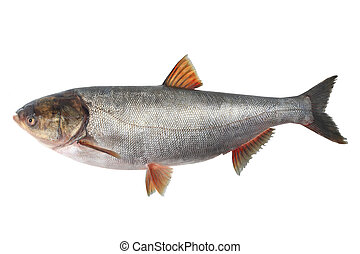 silver carp, (Hypophthalmichthys molitrix) with isolated on...