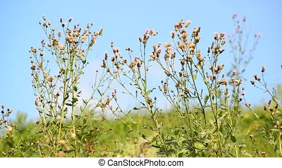 Weeds in the summer in the meadow on sunny day - Weeds in...