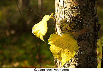 autumn birch forest with two yellow leaves