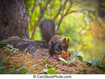 Squirrel eating pine nuts on the forest - Red euroasian...