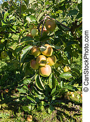 apples on the tree ready for harvest