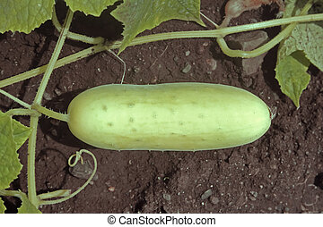 Cucumber, Cucumis sativus is a widely cultivated plant in...