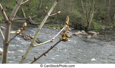 chestnut conker bud - chestnut conker tree twig buds and...
