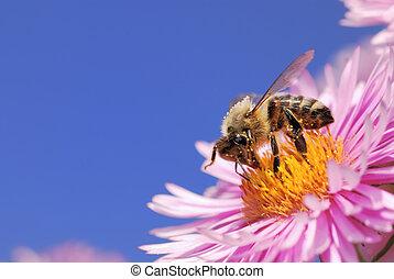 Honeybee collecting pollen - Honeybee on a pink aster flower...