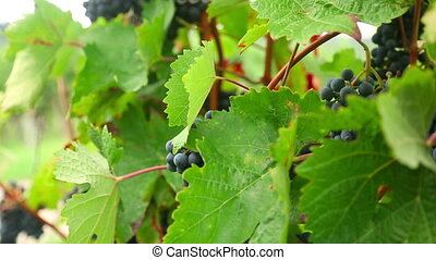 Ripe grapes - She touches a bunch of grapes and checks the...