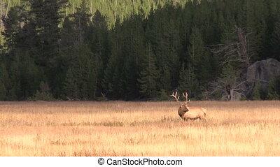 Rutting Bull Elk in Meadow - a bull elk in a meadow during...