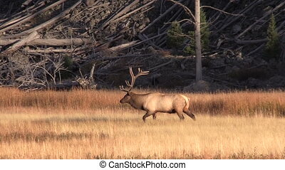 Rutting Bull Elk in Meadow - a bull elk in a meadow during...