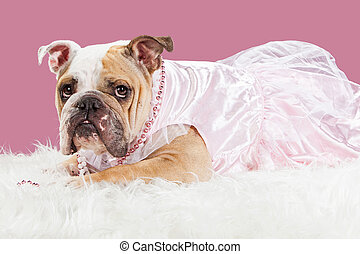 Spoiled Pretty Bulldog in Pink Outfit