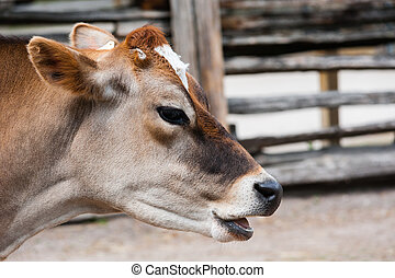 Close-up of jersey cow head with mouth open - Close-up of...