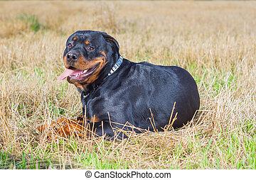 Rottweiler dog grass field - Rottweiler dog on natural...