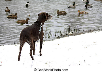 Duck hunting german shorthaired pointer - A duck hunting...