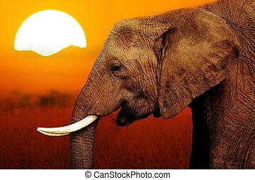 Elephant at Sunset Background - Elephant at African Sunset...