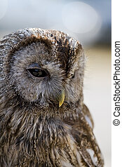 Tawny owl perched on falconer's glove