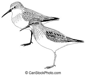 Western and Least Sandpiper - Western Least Sandpiper -...