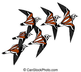 Ruddy Turnstone - Arenaria interpres - flock