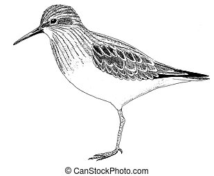 Least Sandpiper - Calidris minutilla - winter
