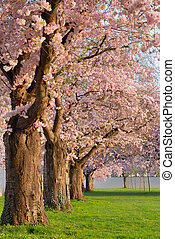 Row of blossoming cherry trees