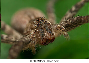 close up of wolf spider face with green background