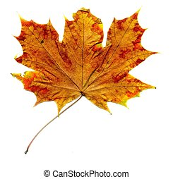 Detailed Fall Maple Leaf
