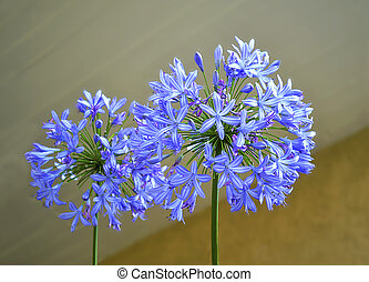 agapanthus flower with blur background