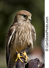 Kestrel perched on falconer's glove