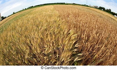 Fish eye view with wheat blowing in the wind - Our planet...