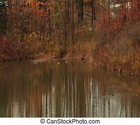 Ducks in the pond - Pond in the Richmond Hill Park,Ontario,...