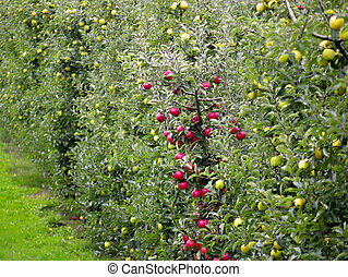 Apple Orchard - Picture of an Apple Orchard. apple...