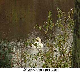 Swan in the pond. - Pond in the Richmond Hill Park,Ontario,...