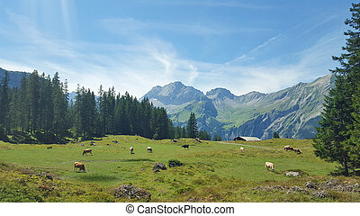 Cows Grazing in Meadow over a blue sky