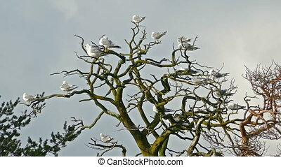 lot of seagulls sitting on bare branches dry tree
