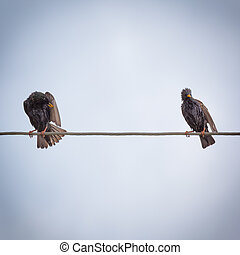 Two starlings sitting on wire