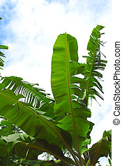 banana plant in africa