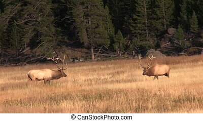 Bull Elk Rutting - a bull elk faces off with a rival during...