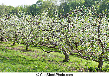 Spring Apple Orchard