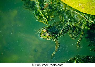 Indian Skipper Frog, Skittering Frog, Euphlyctis...