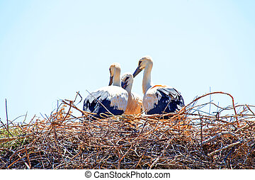Young baby storks on the nest