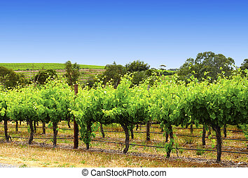 McLaren Vale, Fleurieu Peninsula, South Australia, one of...