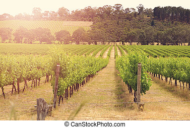 Rows of grapevines taken at Australia's prime wine growing...