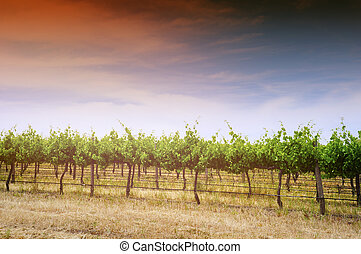 Rows of grapevines taken at Australias prime wine growing...