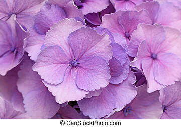 Pink Hortensia Background - Fresh pink hortensia flower for...