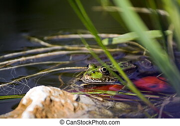 Frog in pond - Green frog in garden pond with golden fish in...