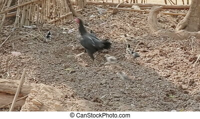Mother hen and chicks foraging for food in the village near...