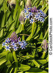 blue Peruvian lily flowers - close up of blue Peruvian lily...