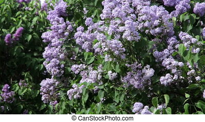 Lilac bush on a wind
