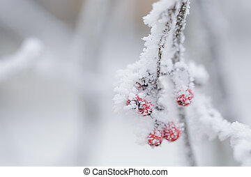 rowan berries covered with frost