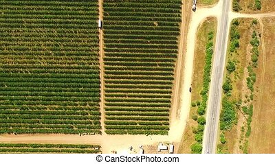 Aerial View Over Fruit Orchard - AERIAL VIEW: This is an...