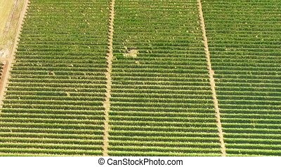 Aerial View Over Green Fruit Gardens - AERIAL VIEW: This is...